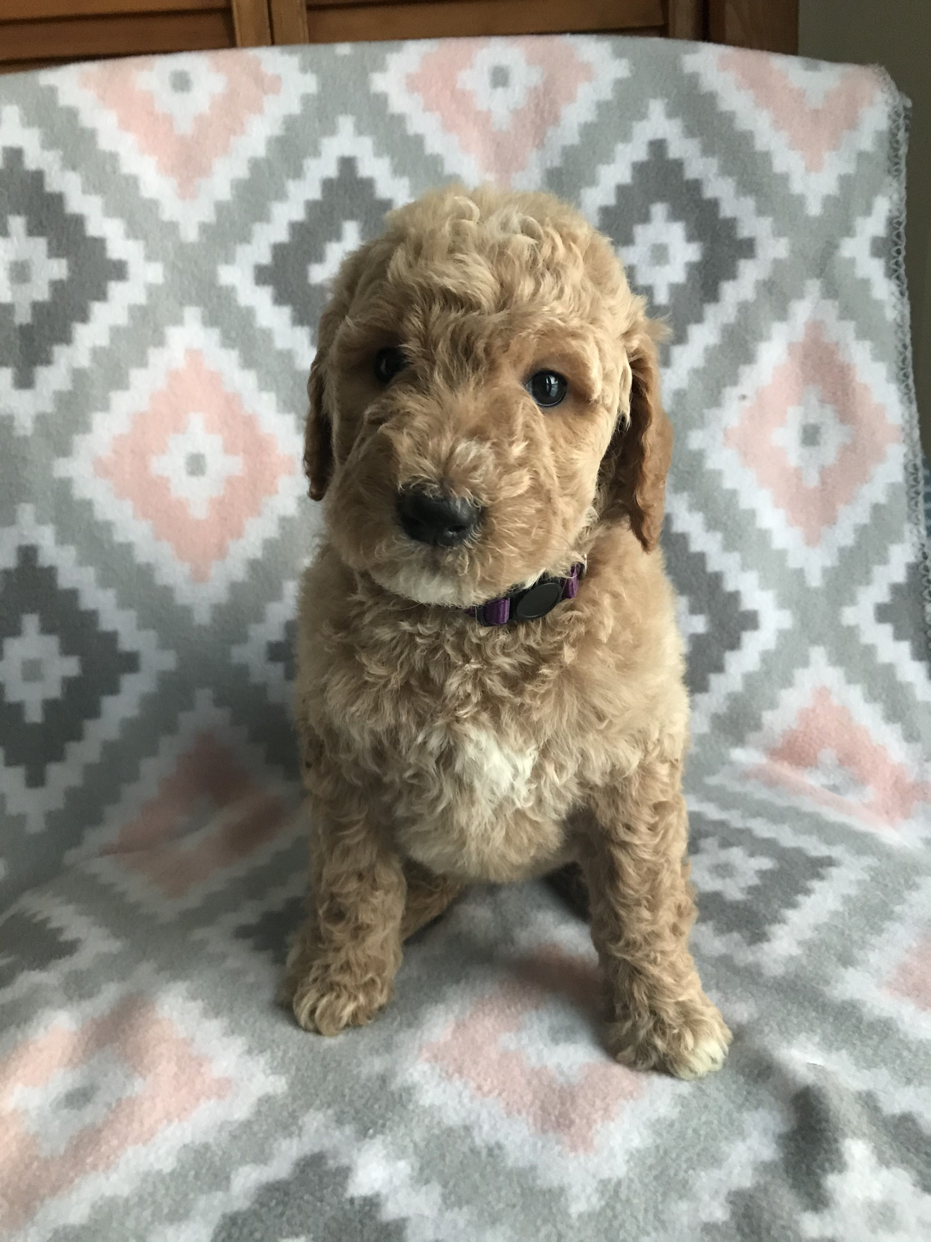We have available F1B goldendoodle puppies, ready to go