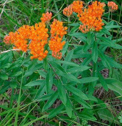 Butterfly Weed is a native perennial with flat-topped, orange or yellow flower clusters at the ends of its stems or in its leaf axils. From midsummer to autumn, it produces clusters of brightly colored flowers that attract insects, followed by fruit and showy seed. Plant in a border, meadow, butterfly garden, or wildflower garden. U.S. native. Attracts bees and butterflies. Needs full sun and fertile, well-drained, loamy soil. They have taproots and resent disturbance.