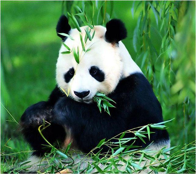 دب الباندا خلفيات حيوانات كيوت