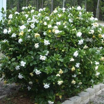Four Seasons Gardenia Shrub Shrubs For Sale Shrubs Fast Growing Trees