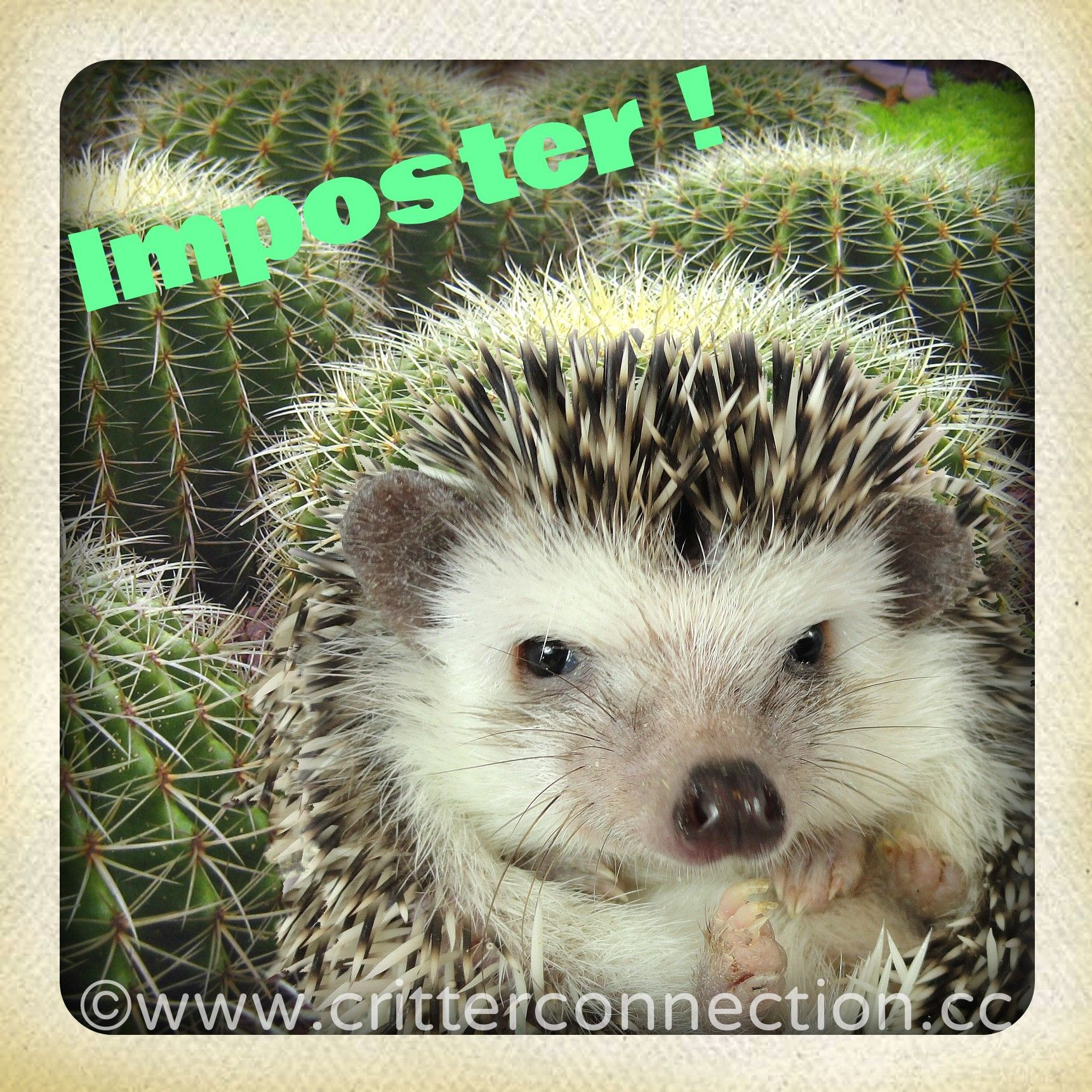 86185dc3b #hedgehog #hedgie #funny #lol #quills #imposter #cute #adorable #cactus