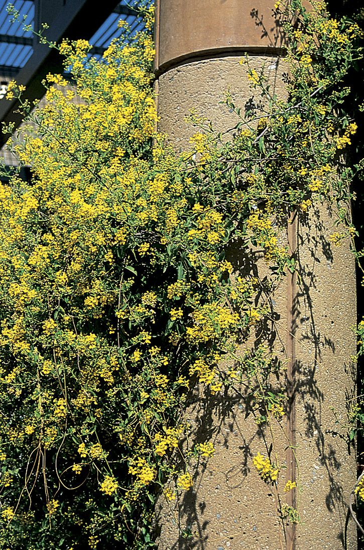 Photo details arizona municipal water users association botanical name mascagnia macroptera common name yellow orchid vine great around pools mightylinksfo Image collections