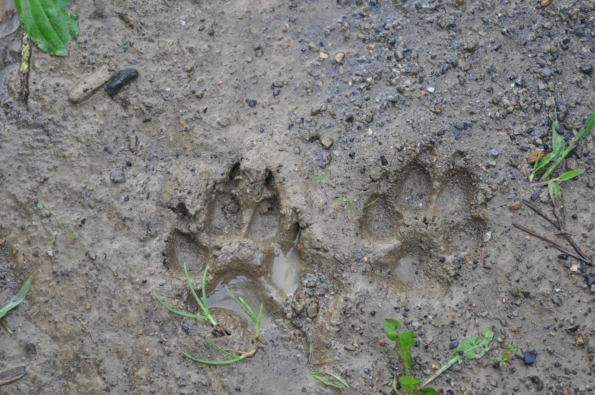 Animal Track Identification