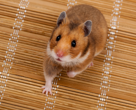 Rodent Hamster Cute Zolux Bear Hamster