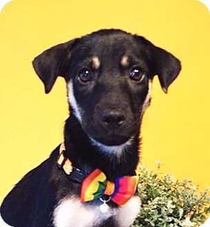 Adopted!! Castro Valley, CA - Labrador Retriever Mix. Meet Lani, a puppy for adoption. http://www.adoptapet.com/pet/11795795-castro-valley-california-labrador-retriever-mix