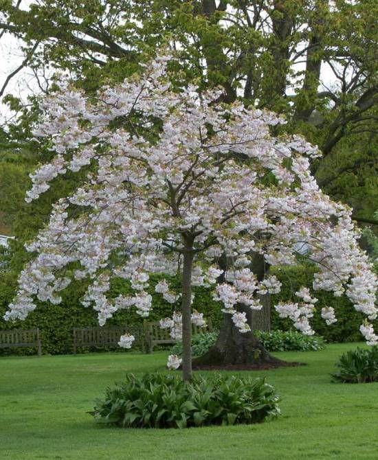 Morello Cherry Trained Or Bush Form American Garden Espalier Fruit Trees Trees To Plant