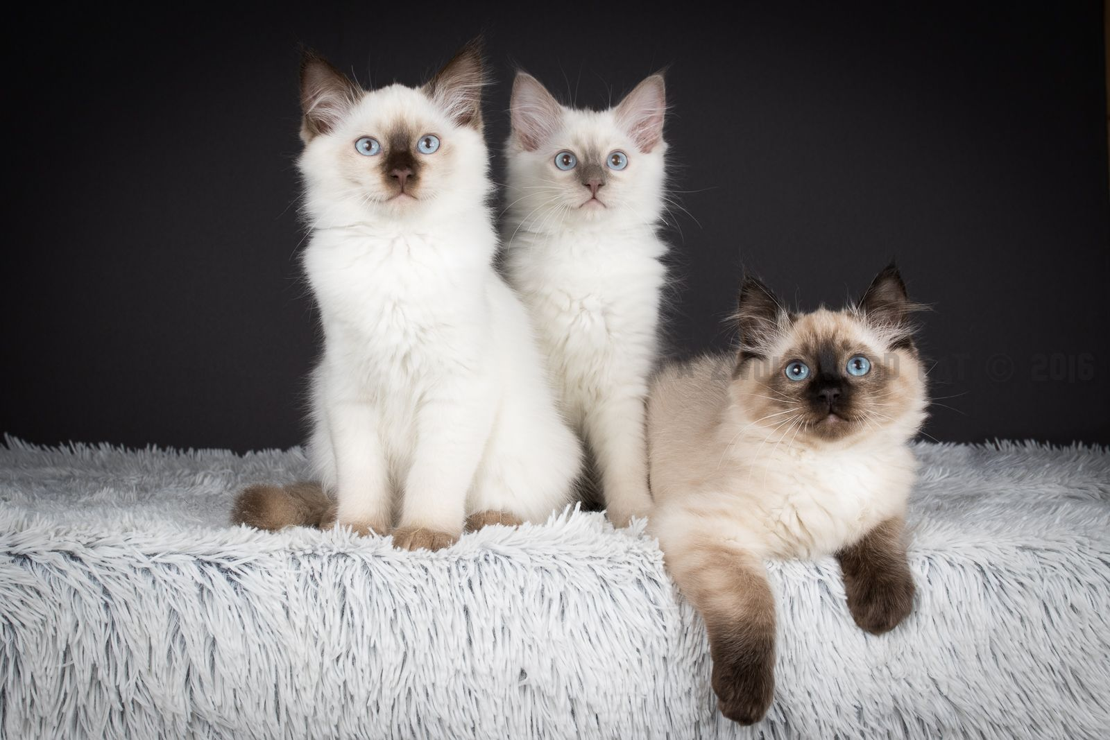 2016 Ragdoll Kittens From The Flintstones Litter At 12 Weeks Old Bamm Bamm A Chocolate Colourpoint Barney Rubble A Lilac Colourpoint And Dino A Seal Colou