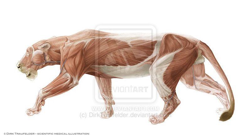Célèbre Lion anatomy 2 by DirkTraufelder on deviantART | Animals  AI61