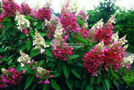 Hydrangee Paniculee / Panicle Hydrangea Pinky Winky H:2.3 L:2m