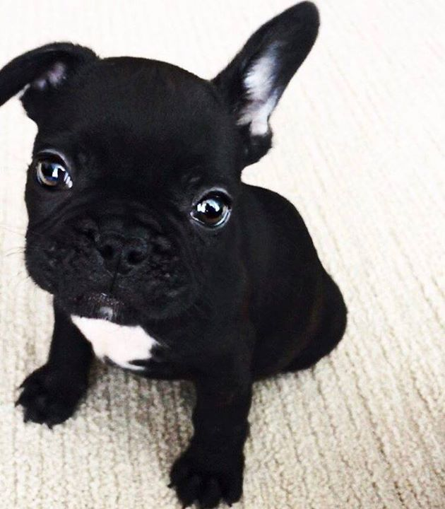Click Visit Site And Check Out Best French Bulldog T Shirts This Website Is Outstanding Tip You Ca French Bulldog Puppies French Bulldog Bulldog