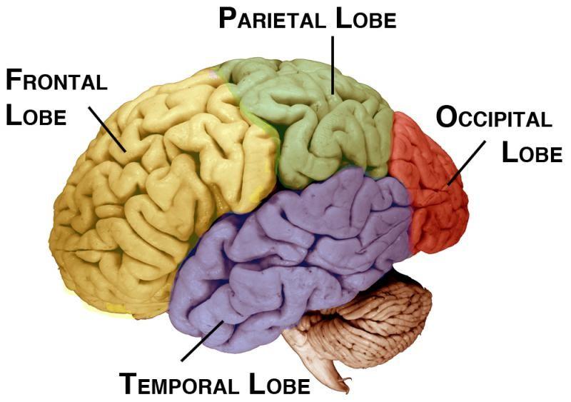 The Nervous System   Serendip Studio   Brain lobes ...