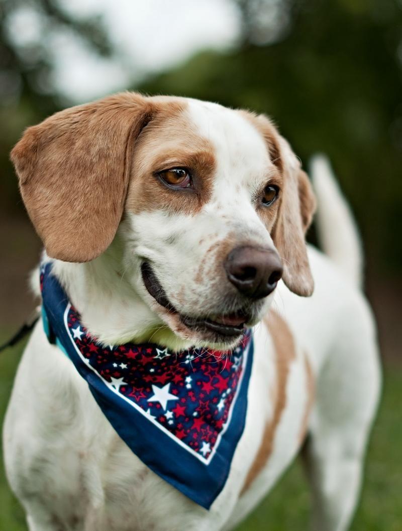 07 13 14 Sl Henry Basset Hound Beagle Mix Adult Male