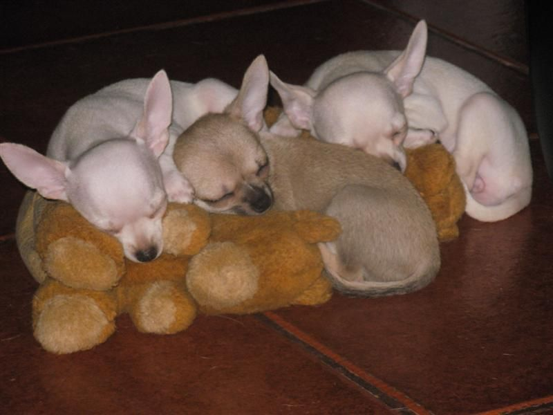 Love The Ears Chihuahua Puppies Funny Chihuahua Pictures Chihuahua