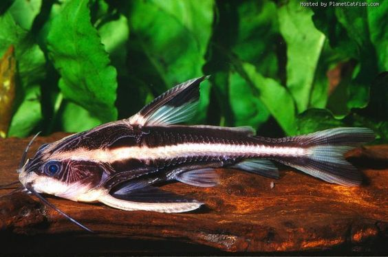 Striped Raphael Catfish Platydoras Armatulus Aquarium Fish Aquarium Catfish Tropical Freshwater Fish
