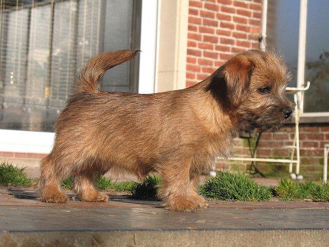 Norfolk Terrier Dog Norfolk Terrier Norfolk Terrier Puppies