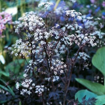 Queen Annes Lace, Cow parsley or otherwise known as Anthriscus sylvestris Ravenswing - needs a little support in spring and to be cut back in autumn, it's biennial so may choose something else