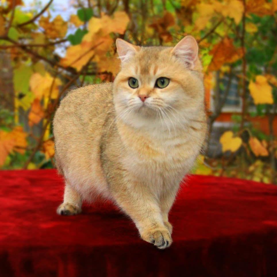 Kevin Cat Cats British Shorthair Ny11 Ny22 Ny25 Damskiy Kapriz