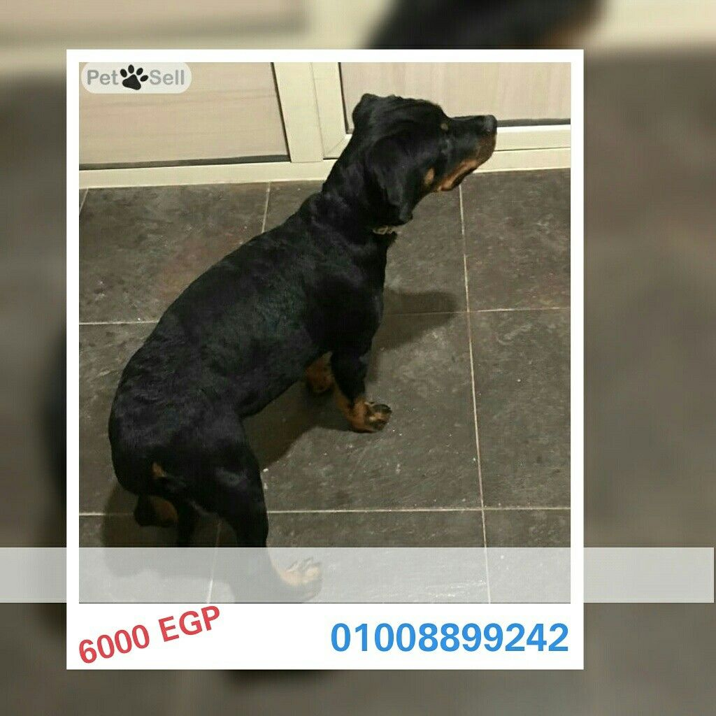 مصر القاهرة الجديدة Available Rottweiler Puppies Female And Male