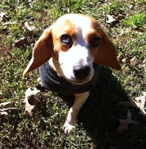 Fosters Triangle Beagle Rescue Triangle Beagle Rescue Beagle