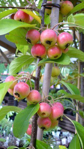 Malus Butterball crabapple