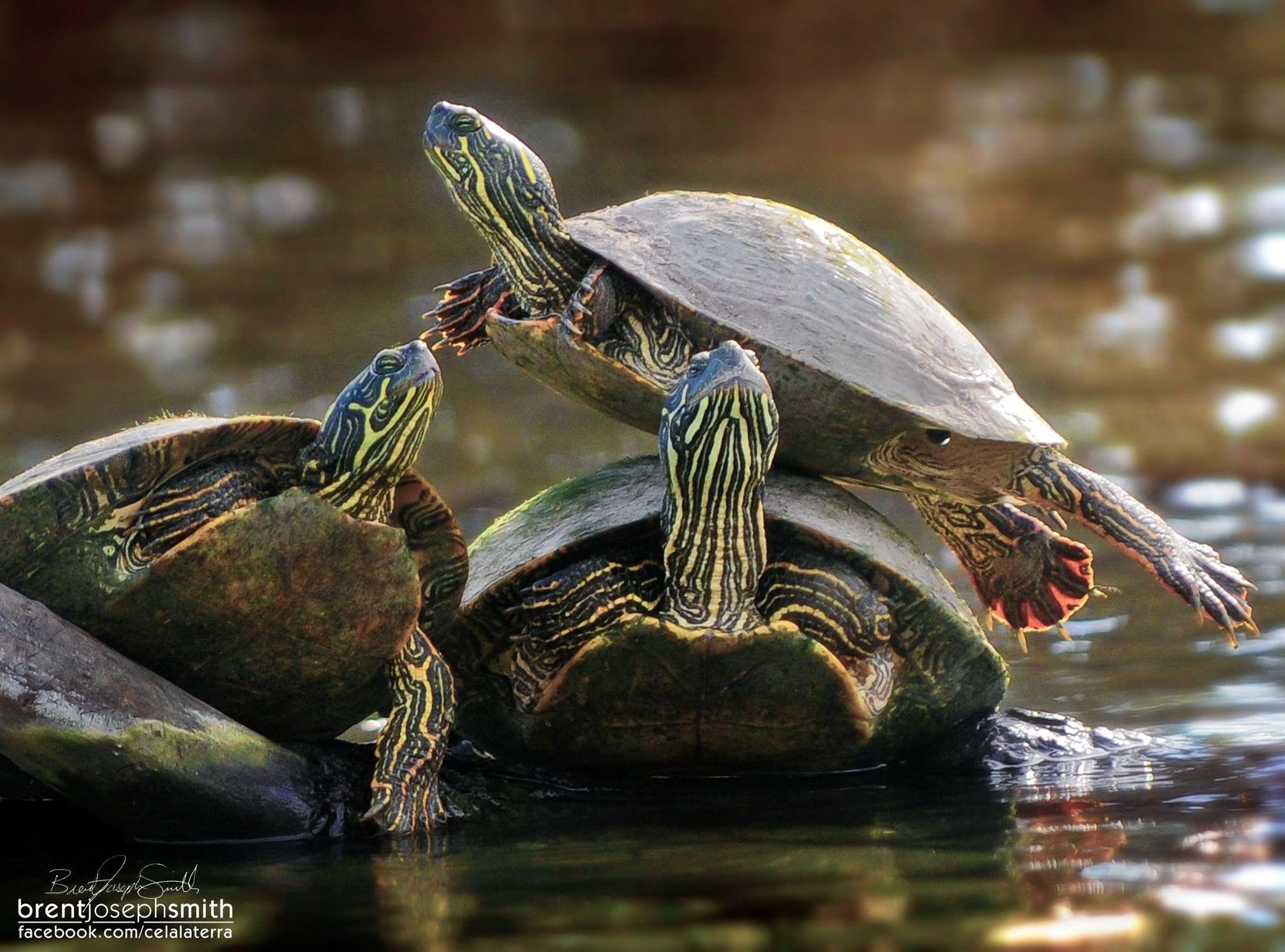 Joseph Smith, Leave A Comment, Terrapin, Cedar Park, Reptiles, Amphibians,