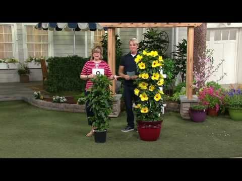 Cottage Farms Sunny Tower Of Flowers Hibiscus On Qvc Youtube Hibiscus Flowers Farm