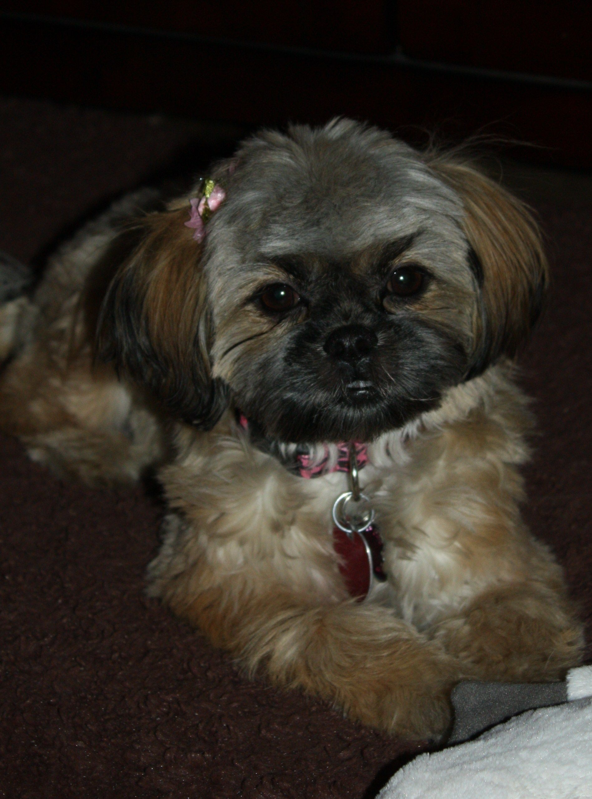 Pin On For The Love Of A Shih Tzu