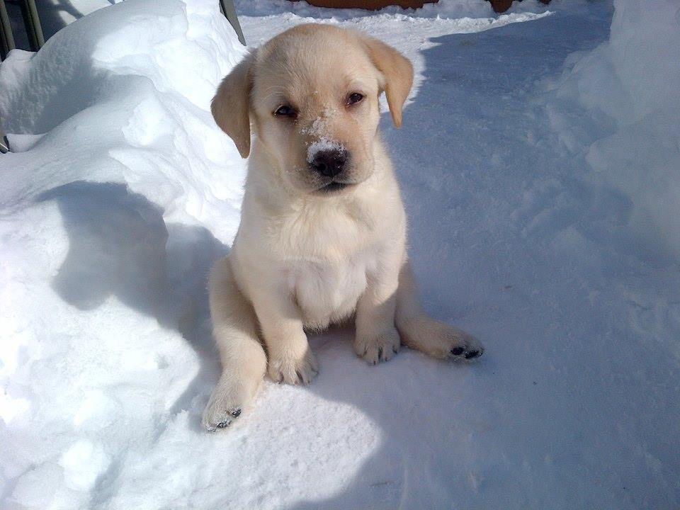 Cutest lab puppy ever labrador retriever labrador