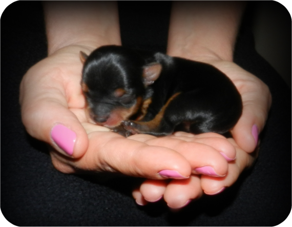 newborn yorkshire terrier Yorkie puppy, Puppies, Yorkie