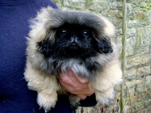 Teghakennel Pekingese Puppies For Sale Tegha Kennel Buy And