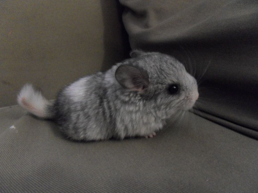 Want Something To Warm Your Heart Just Look At Baby Chinchillas Music Indieartist Chicago Chinchilla Cute Chinchilla Pet Cute Animal Photos
