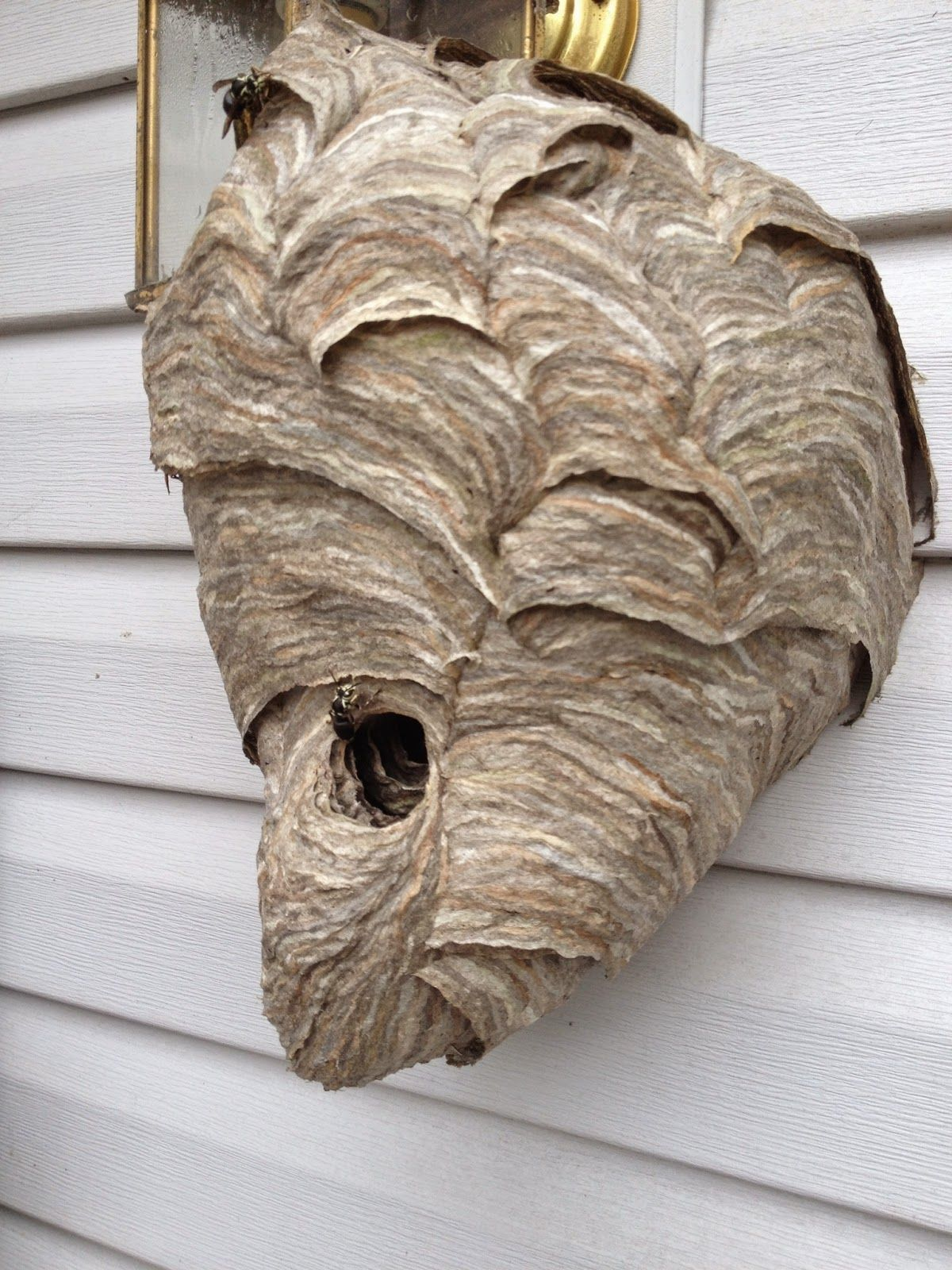 Pictures Of A Hornets Nest On Animal Picture Society Hornets Nest Bald Face Hornet