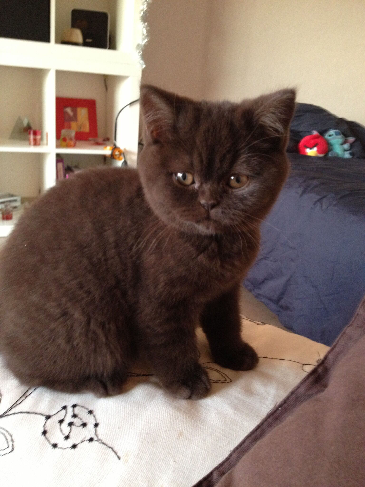 Hermione British Shorthair chocolate british shorthair kitten