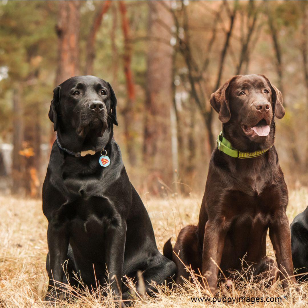 Black And Chocolate Lab Black Lab Puppies Dog Photos Labrador