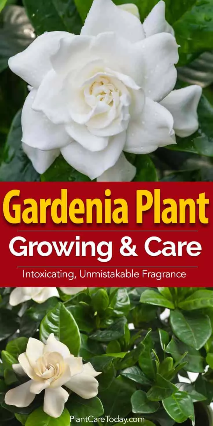 Gardenia Care How To Care For Gardinias Plantcaretoday Care Gardenia Gardinias Gartenpflanzen Plantcareto In 2020 Gardenia Plant Gardenia Trees Gardenia Care