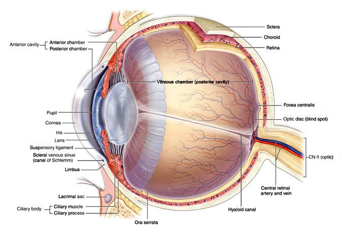 Ocular Anatomy Coloring Book : Structure of the eye google search medicine!!!! pinterest