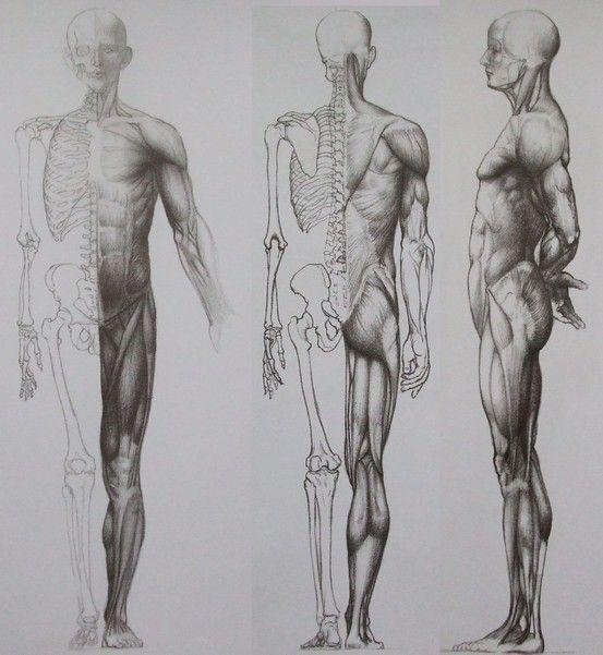 Jen Barcsay Mvszeti Anatmia Artistic Anatomy Grafik