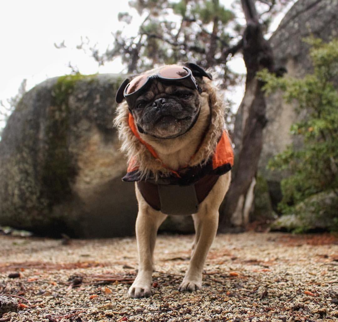 Mack The Adventure Pug Human On Instagram That Face You Is
