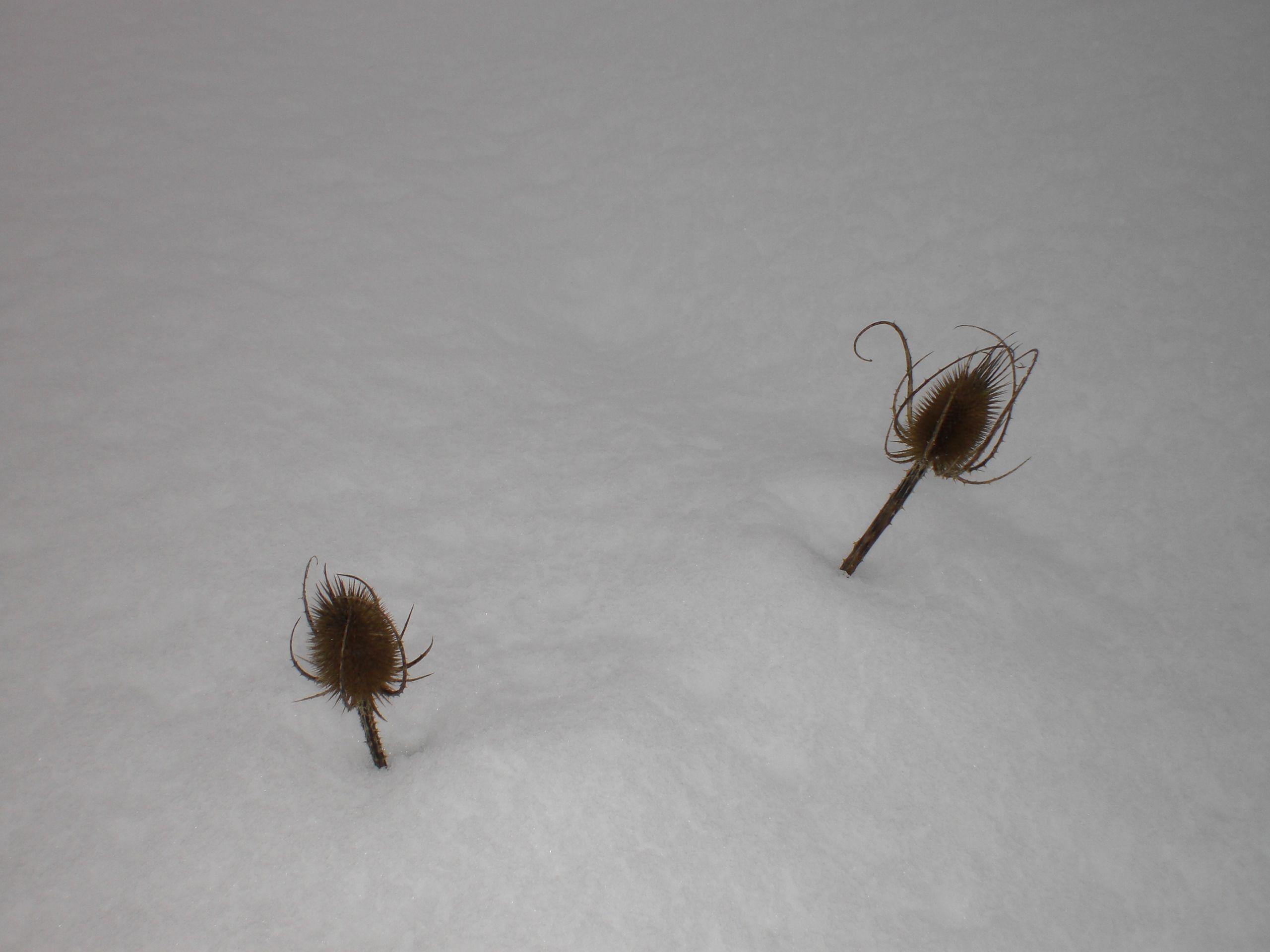 Cardos asomando sus cabezas durante una gran nevada