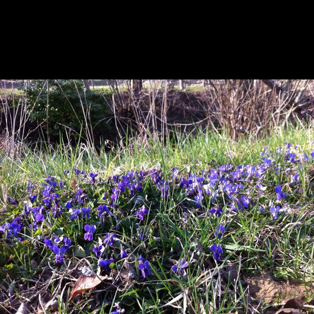 Violettes de printemps