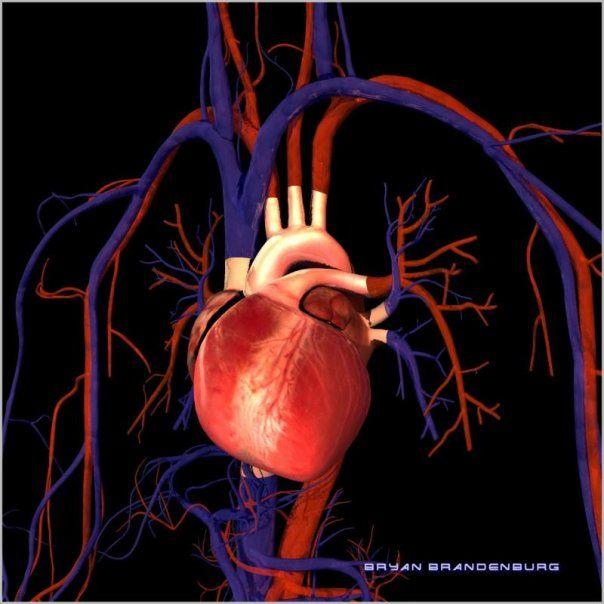 3d human heart cool science stuff pinterest human heart gcse 3d human heart ccuart Choice Image