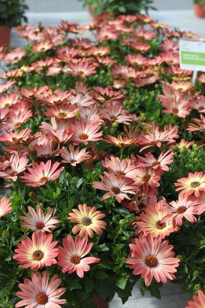 Osteospermum Margarita Bronze African Daisy Bellis Perennis