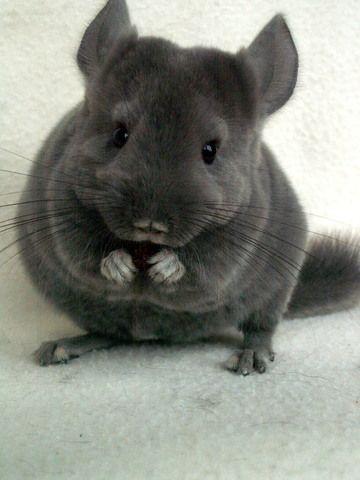 Chinchilla Violet Ebony Recherche Google Cute Animals Baby Animals Animals Beautiful