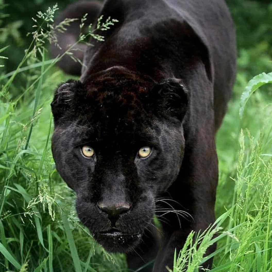 . Black Jaguar. Photography by © (Gary Brookshaw). A