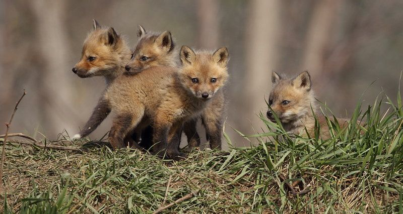 Red Fox Pups | www.pixshark.com - Images Galleries With A ...