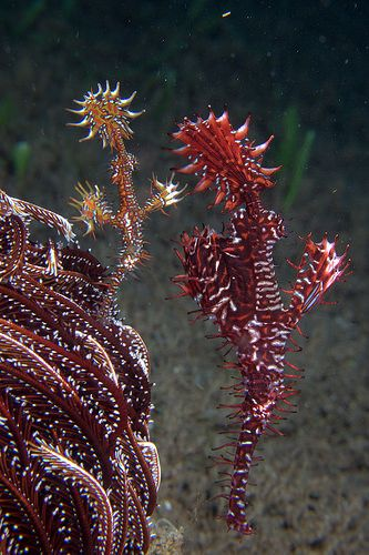 Ghost Pipefish   Flickr - Photo Sharing!