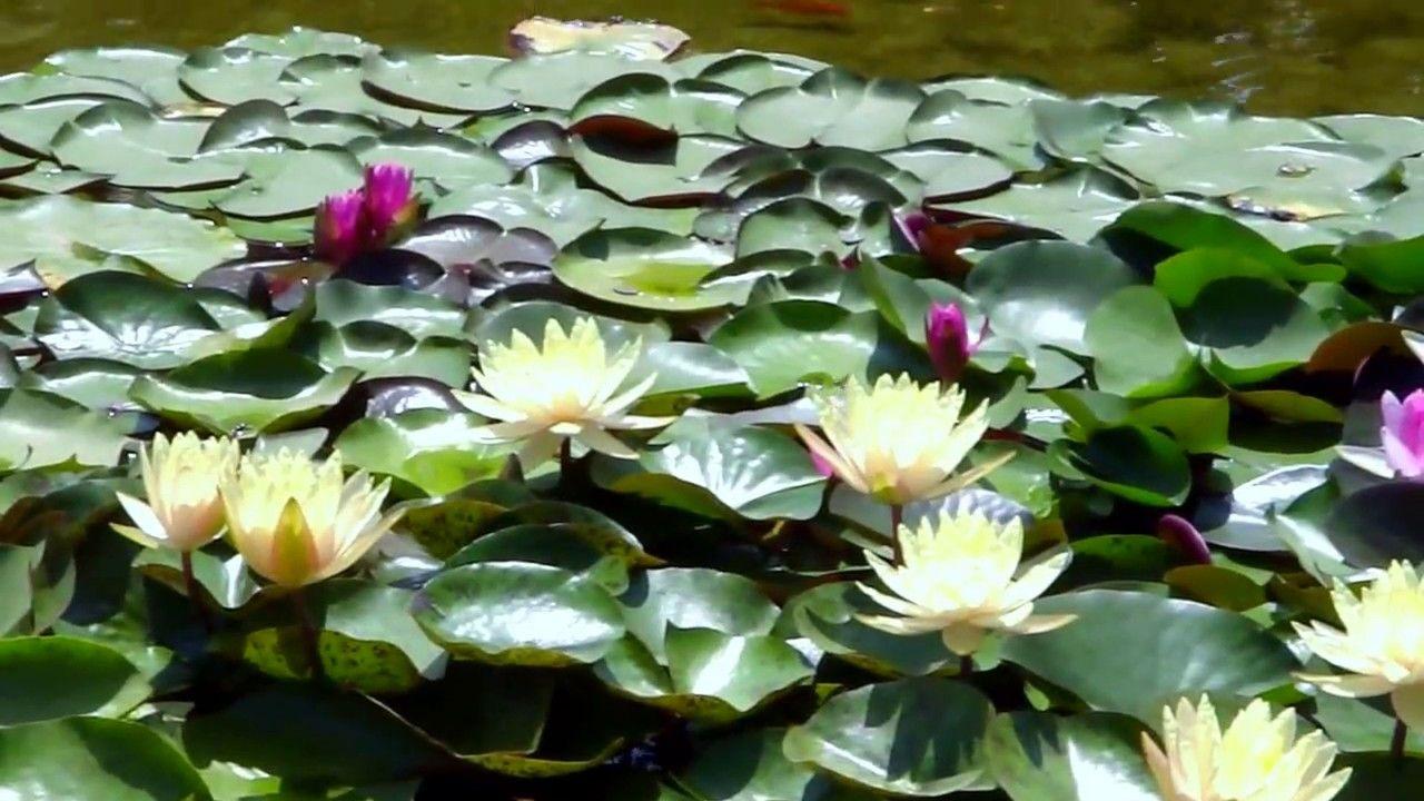 Lotuses Waterlilies In City Park Part 2 Lotus Flowers Lotuses