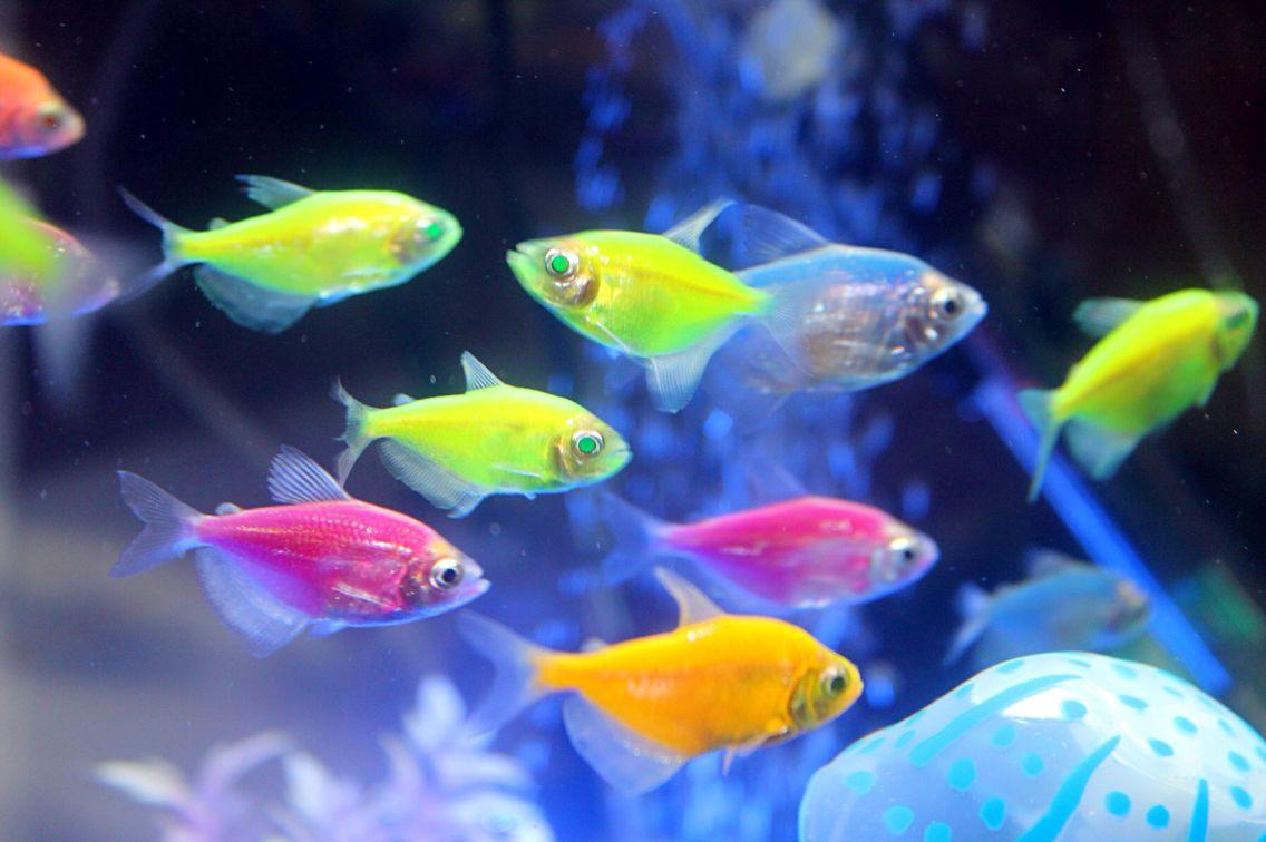 Freshwater aquarium fish neon - Fish Neon Tetra Fish