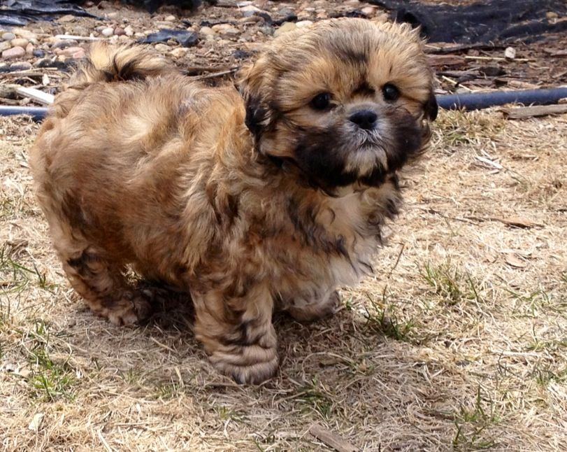My Brindle Shih Tzu Puppy Cookie Shih Tzu Puppy Shih Tzu Puppies