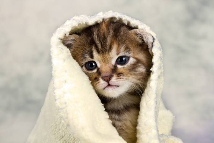 Super Cute Kitty In Blanket Towel Cat Kitten
